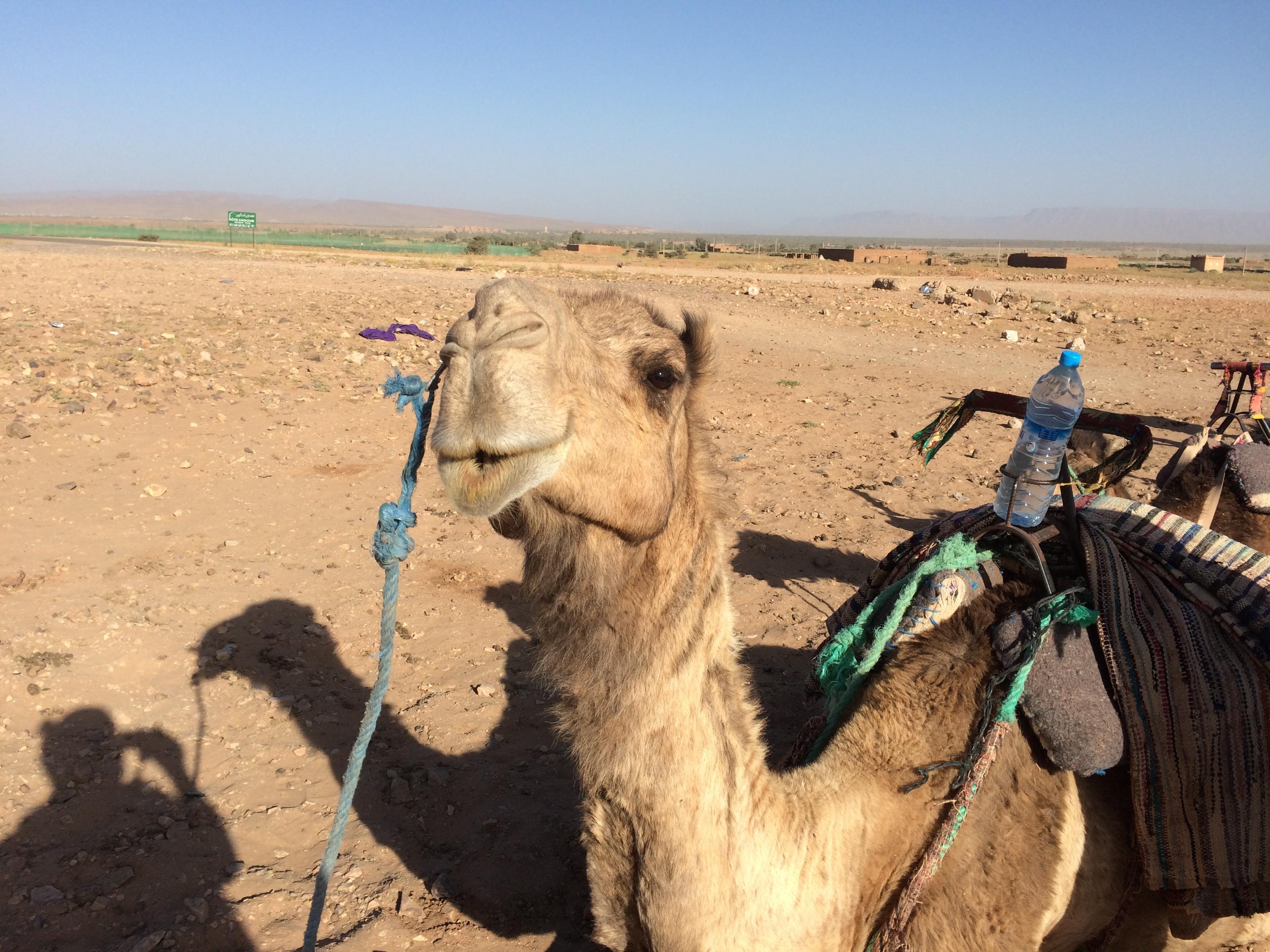 Dromedário_deserto_zagora_marrocos.JPG