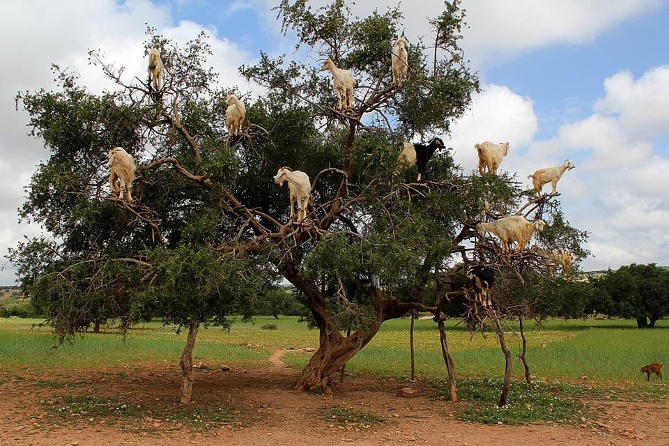 Cabras na árvore de argan