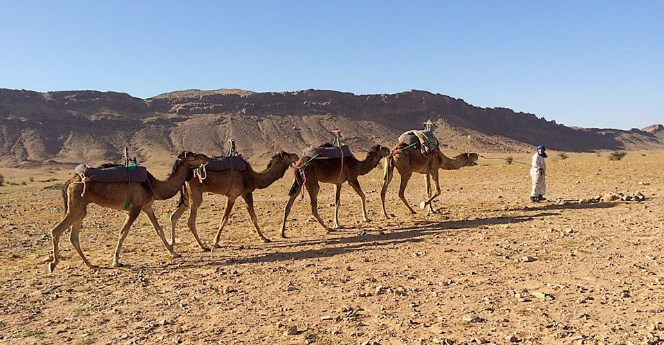Guia levando os dromedários de volta ao deserto.