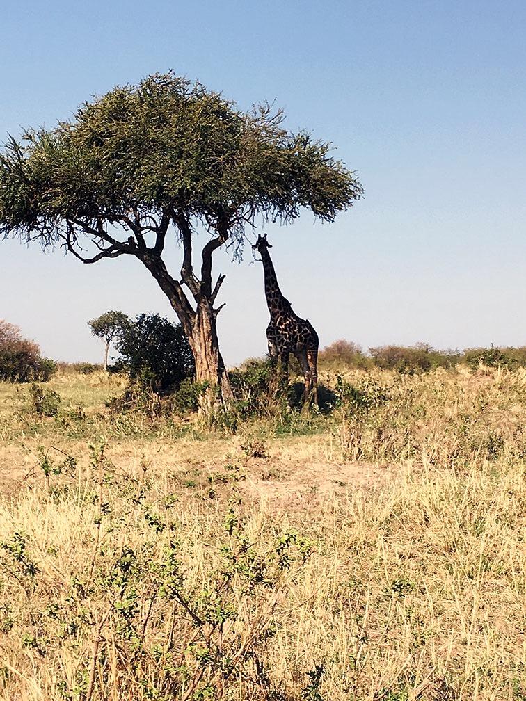 quenia_safari_africa_parque_amboseli_girafa_arvore_savana