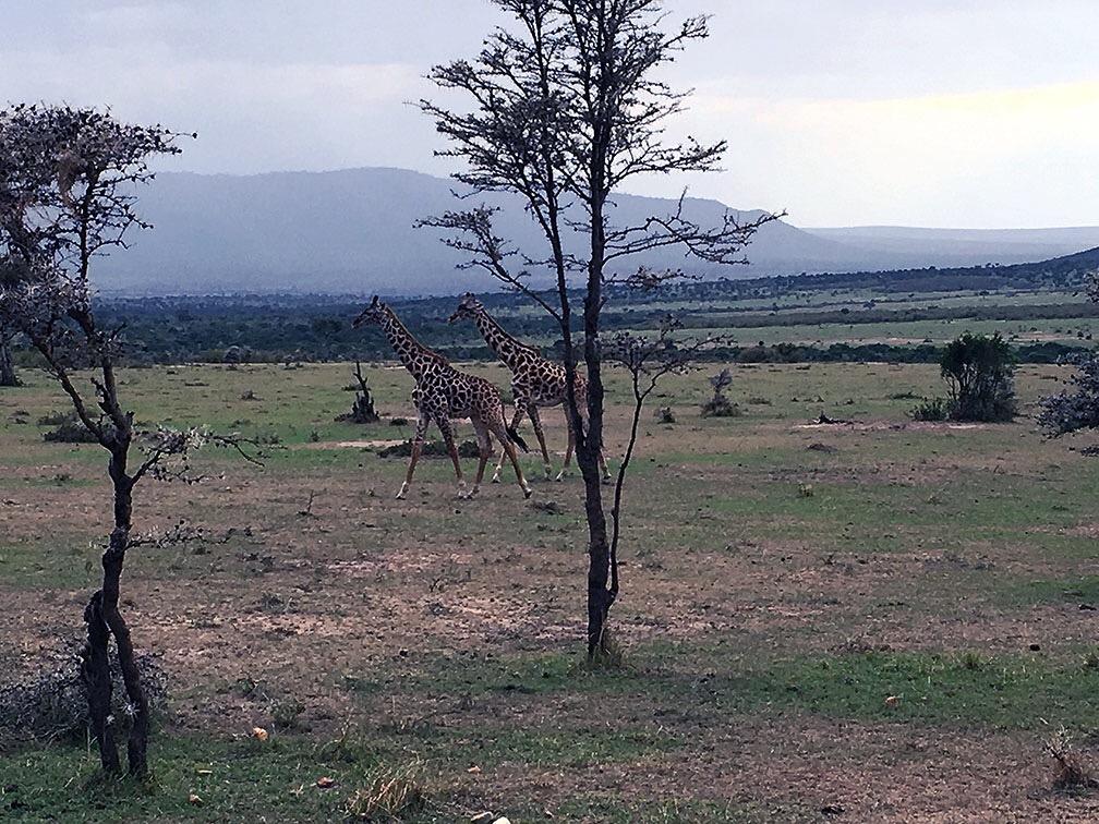 quenia_safari_africa_parque_amboseli_girafas_arvores_savana