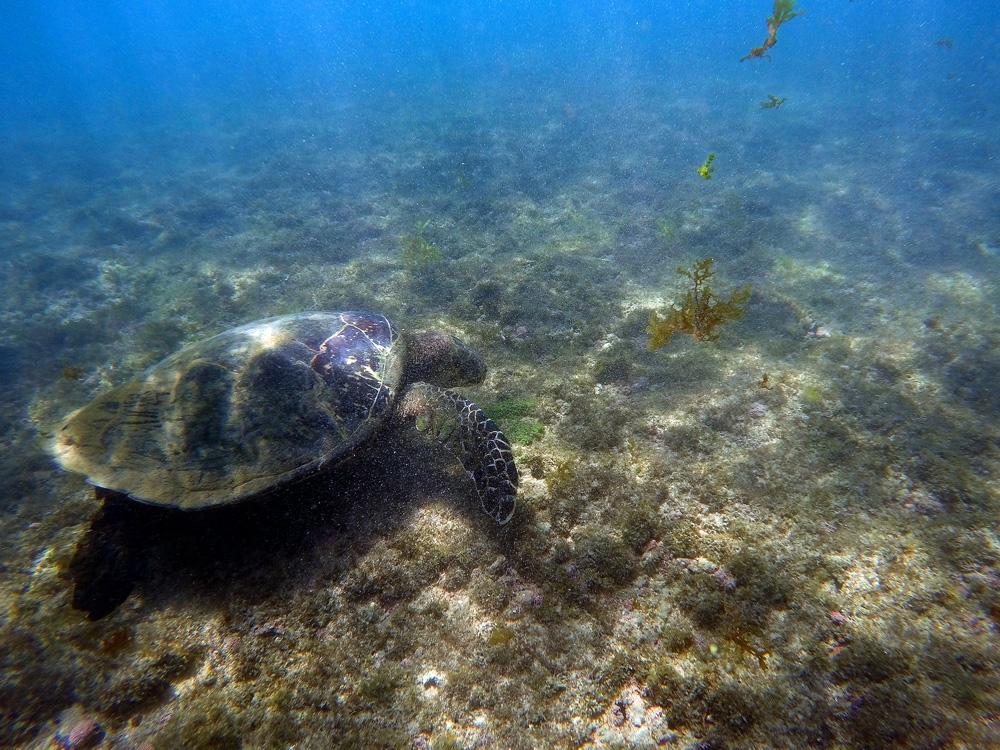 Tartaruga nas águas da praia do Sueste em Fernando de Noronha